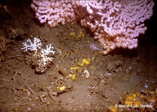 Colonies of Paragorgia arborea and L pertusa amidst crushed coral on the Haltenpipe reef. Photo: Statoil ASA, Norway (2005)